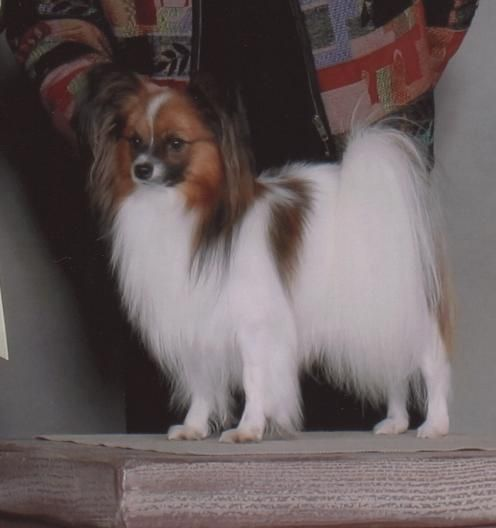 Males Angelwing Papillons Papillon Dog Cute Dogs Papillon