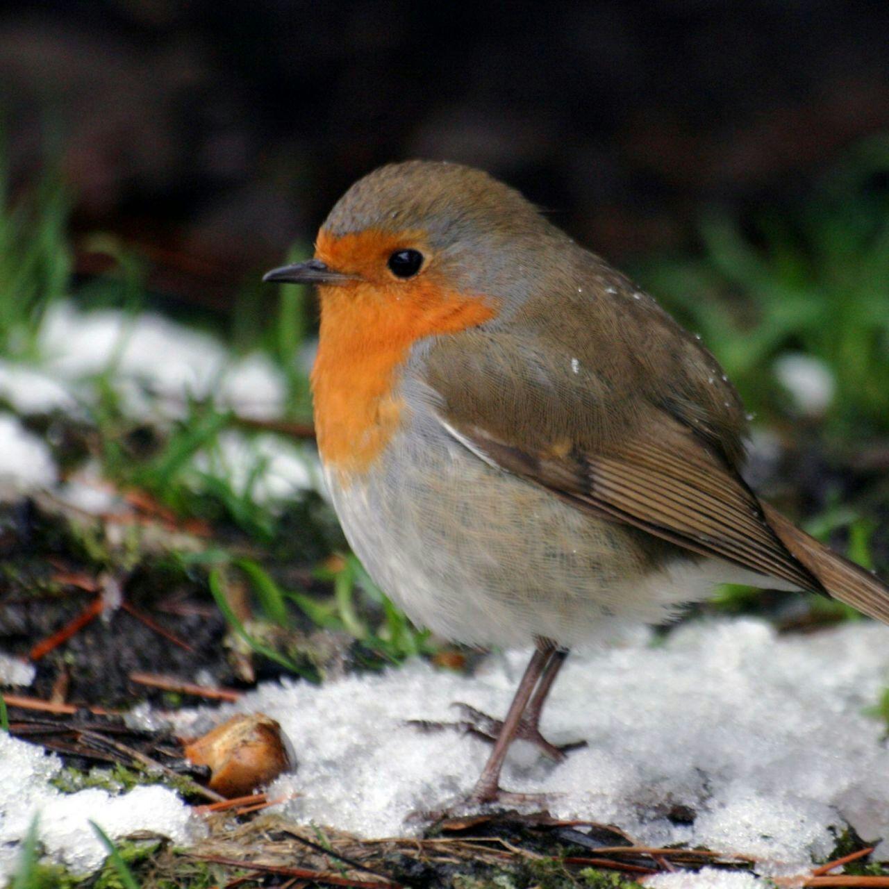 Roodborstje Tiere Hubsche Vogel Tierbilder