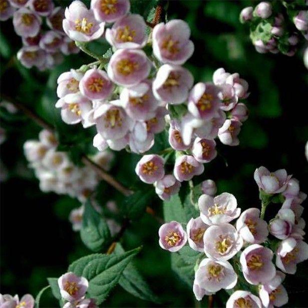 deutzia compacta lavender time - deutzie | lavande, ps et roses