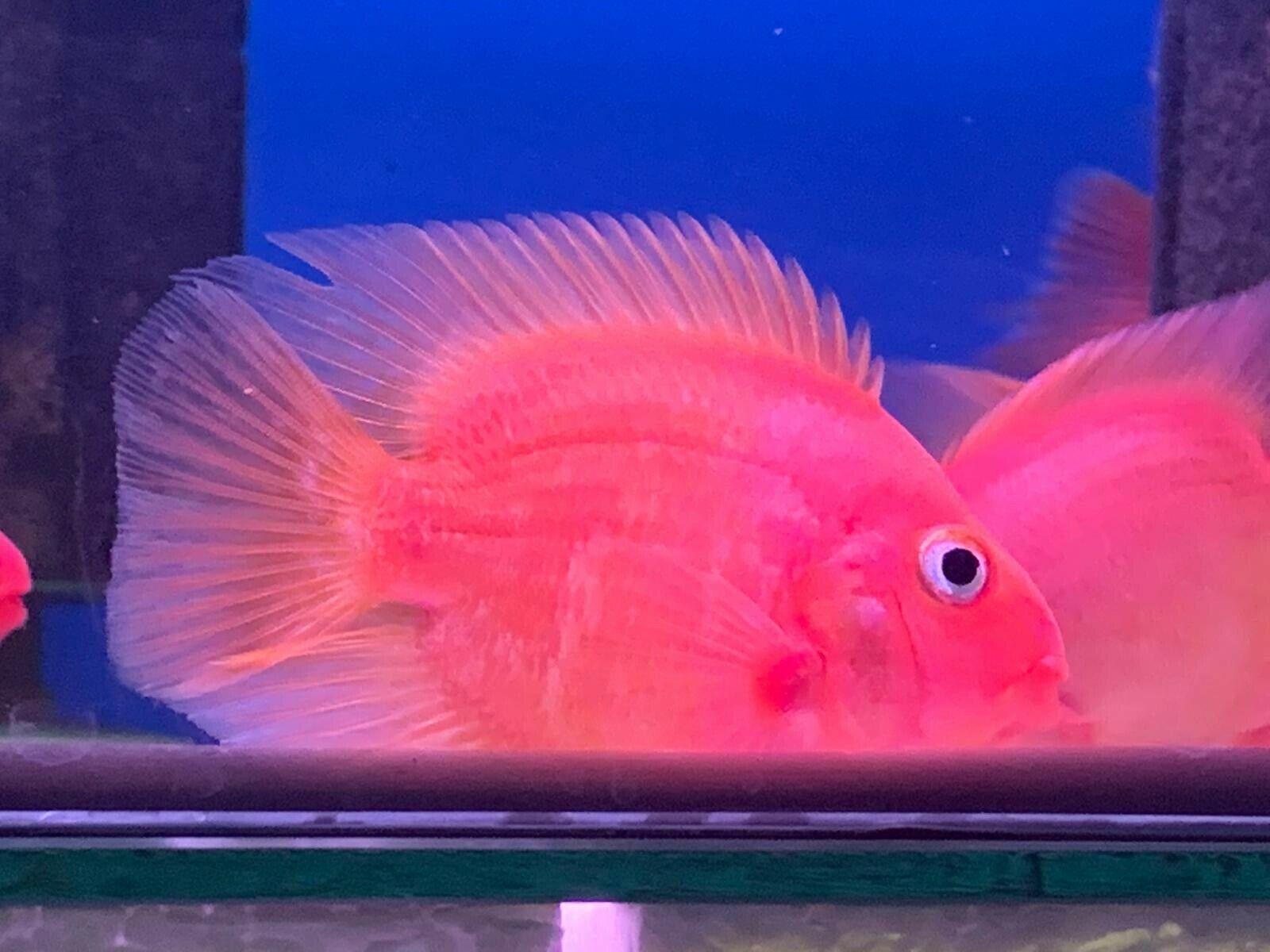 King Kong Parrot Fish Cichlid Cichlids Parrot Fish Fish Pet