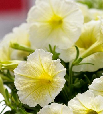 Plant Petunias For Loads Of Colorful Blooms All Summer Long Garden Plant Pots Petunia Plant Plants