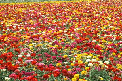 Flowers · Zinnia Field.