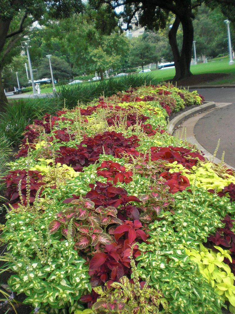 Coleus plants tips for caring for coleus gardens for Simply garden maintenance