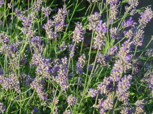 How To Take Care Of A Lavender Plant Lavender Plant Plants