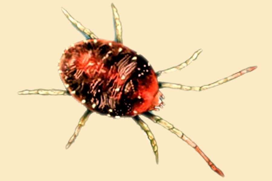 Bird mites how does an infestation occur pest control