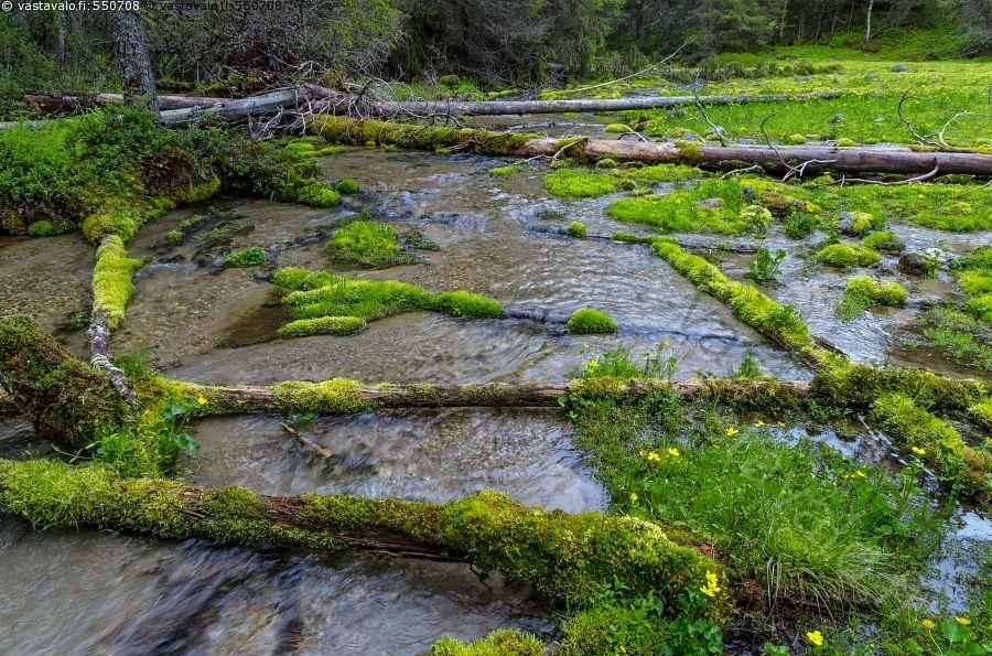 Kylmäperän lähteikkö - puro pienvesi lähdepuro puro lähde Kylmäoja lähteikkö Kylmäperä Kylmäperän kirkas puhdas vesi lähdevesi sammal sammaleet lähdesammal lähdesammaleet sammaloituneet puut Taivalkoski kesä