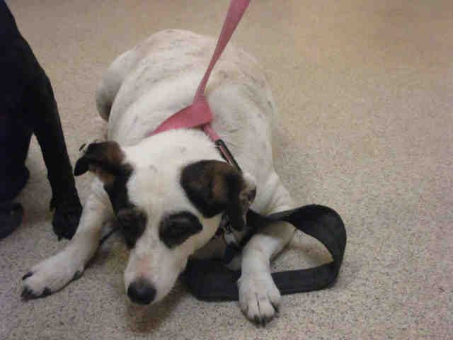 I am a neutered male, white and brown Jack (Parson) Russell Terrier mix. The shelter staff think I am about 8 years old. I have been at the shelter since Aug 01, 2014. For more information about this animal, call: Riverside County Animal Control - Riverside Shelter at (951) 358-7387 Ask for information about animal ID number A0419858