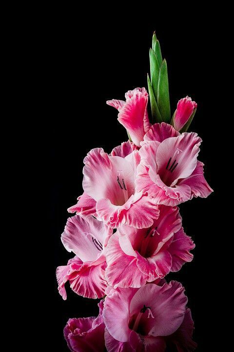 Pin By Chahinez Galoul On Flowers Gladiolus Flower Gladiolus Trees To Plant