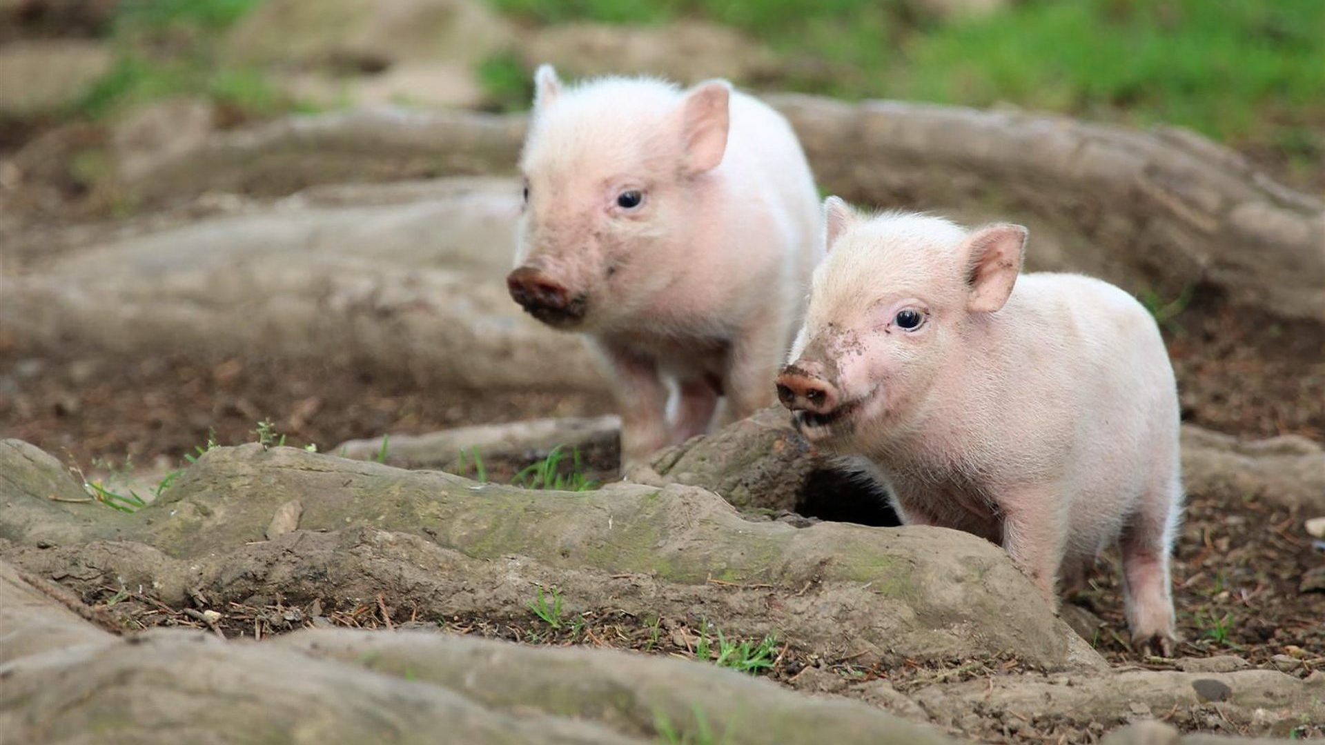 Two Baby Pigs Cute Wallpaper 1920x1080 Need IPhone 6S Plus Background For IPhone6SPlus Follow 3Wallpapers Backgrounds