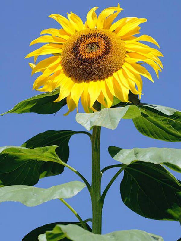 Helianthus Annuus Sunflower World Of Flowering Plants Plants Planting Flowers Planting Sunflowers