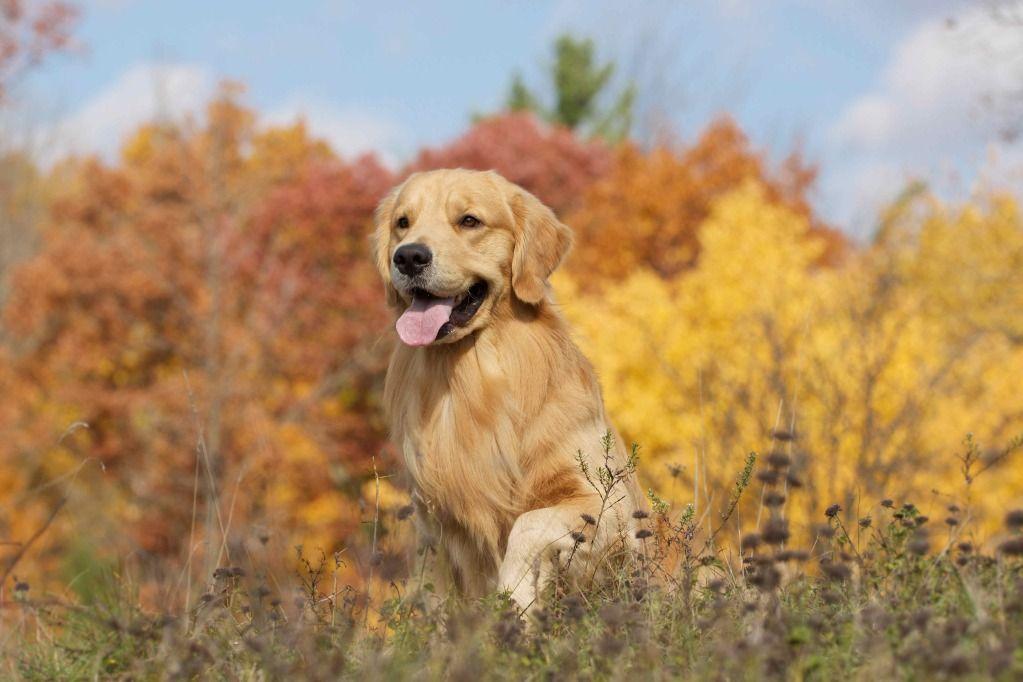 Oliver Fall N More 3 Golden Retrievers Golden Retriever Dog