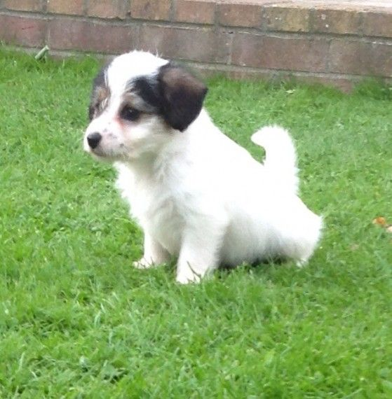 Stunning Jackapoo Puppies Fareham Hampshire Pets4homes Cute Animals Puppies Dogs