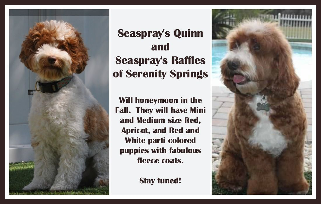 Premier Tampa Bay St Pete Beach Breeder Of Australian Labradoodle Puppies On Florida Australian Labradoodle Puppies Australian Labradoodle Labradoodle Puppy