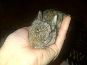 Pure Dutch Dwarf Baby Rabbits For Adoption Gumtree Cape Town Dwarf Baby Rabbit Adoption Cute Animals