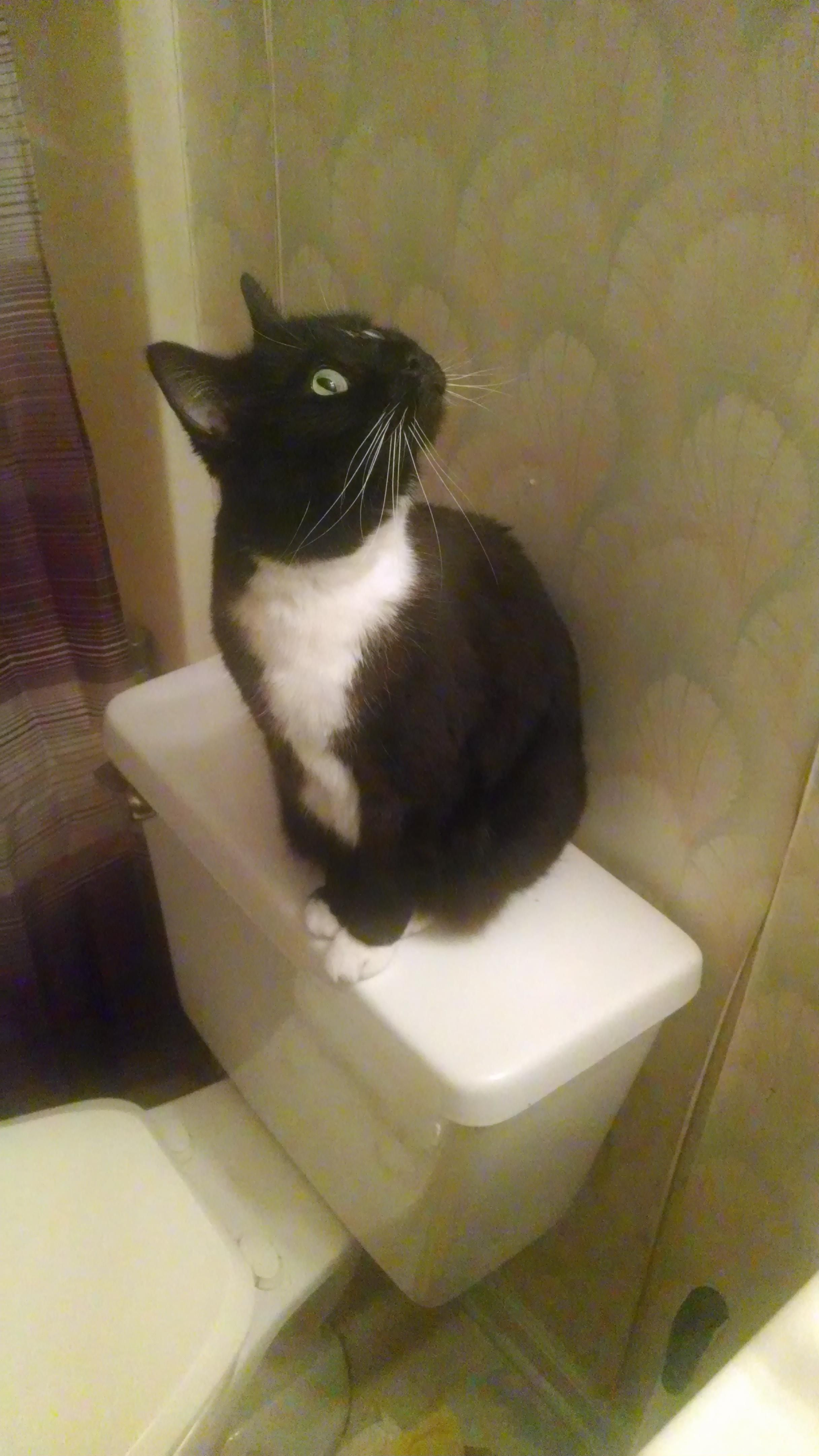 This Is Fat Kid She Doesn T Understand Sitting On The Toilet Cats Cats Cute Cats Animals