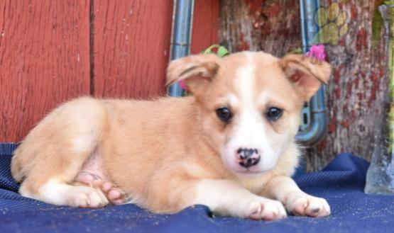 Leo Australian Shepherd Mix Puppy for Sale in Baltic, OH