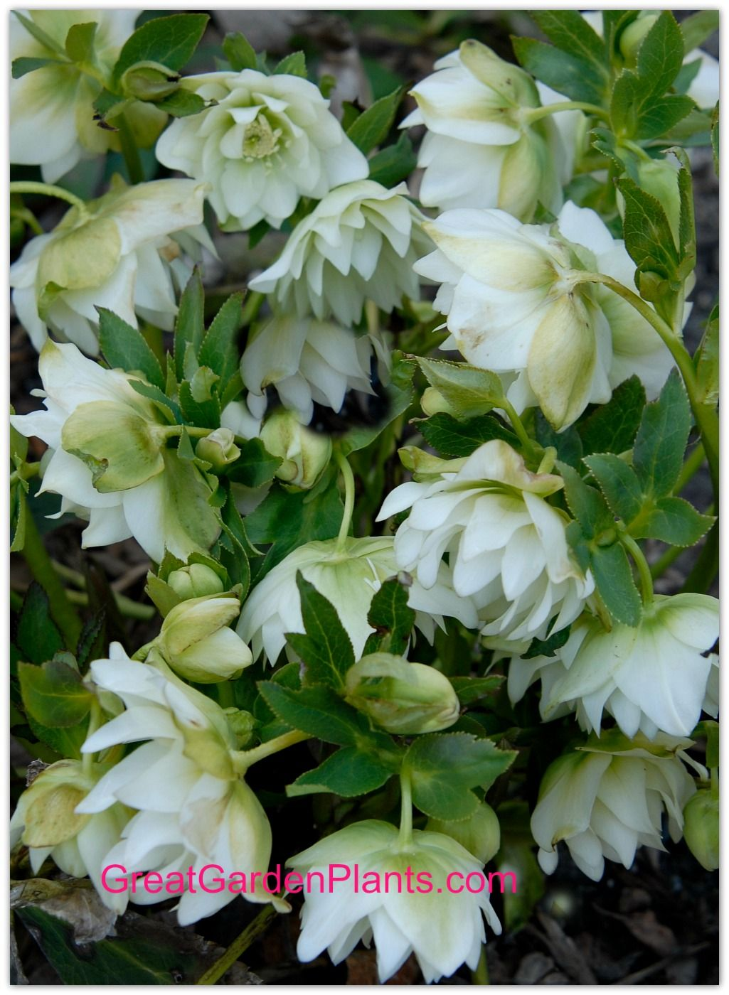 Wedding Ruffles Winter Thriller Hellebore.  Lots of full double white flowers in early spring. Great for the Shade Garden