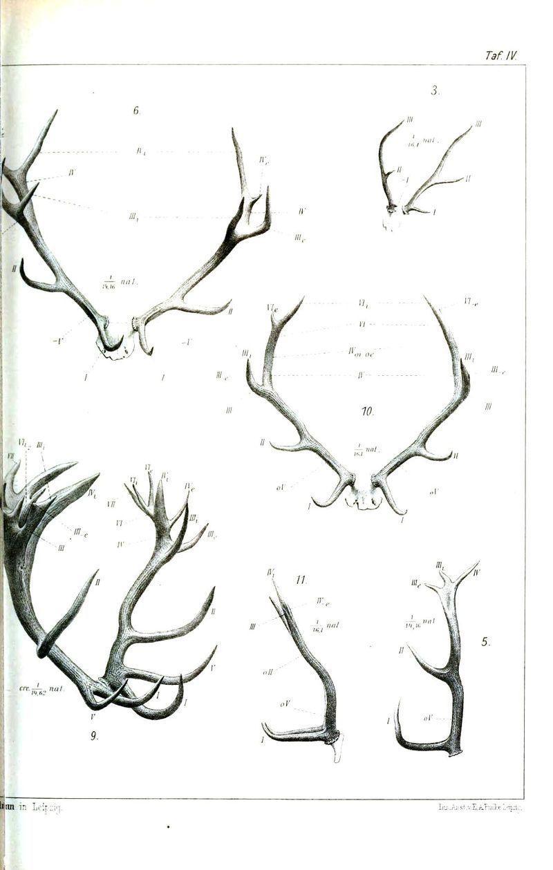 Animal - Deer - Antlers, comparative anatomy 2 | keratin | Pinterest
