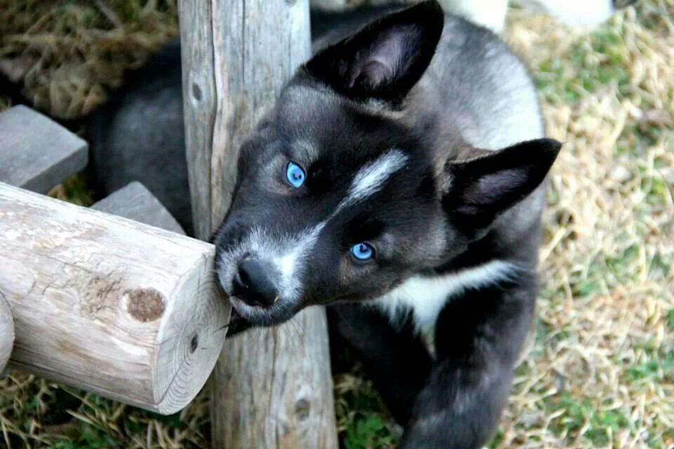 Agouti Husky Want One Cute Baby Animals Beautiful Dogs Puppies