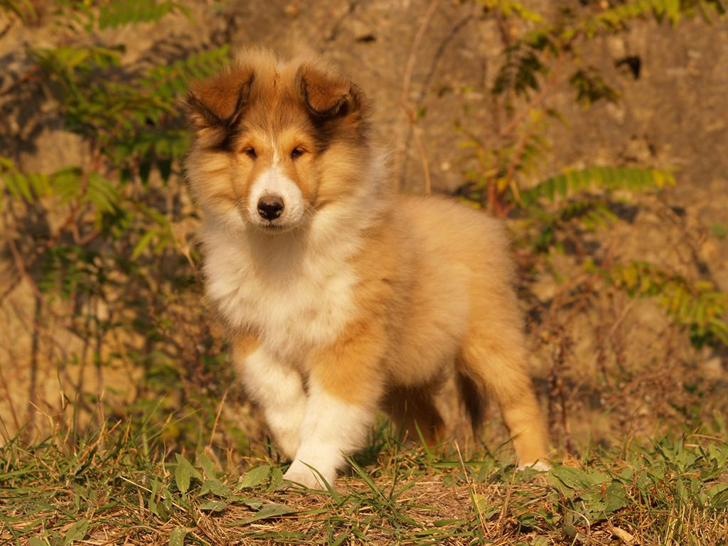 Collie Collie Puppies Puppies Collies For Sale