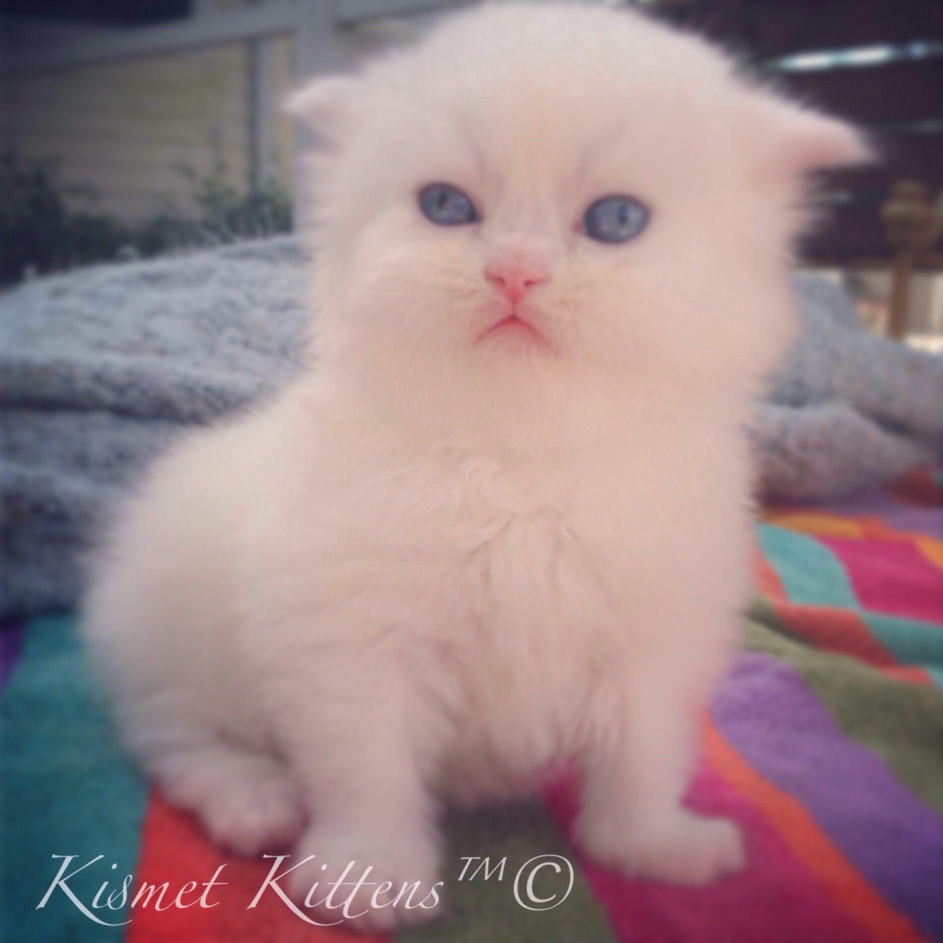 KismetKittens White Doll Face Kitten with Blue Eyes. New