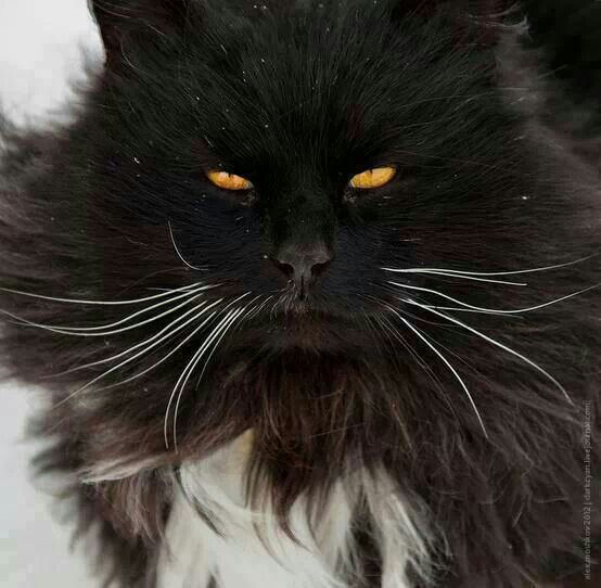 All About Tuxedo Cats With Images Pretty Cats