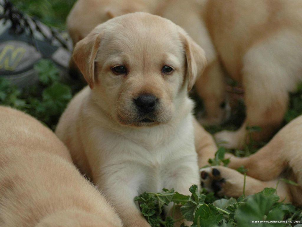 Labrador puppy available in jaipur | Mr. DOG | Pinterest ... for Cute Lab Dog Puppy  585hul