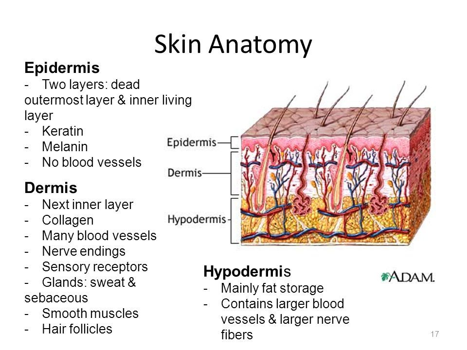Image Result For Epidermis Dermis Hypodermis Bio 2018 Pinterest