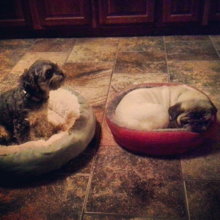 Cool Big Comfortable Beds Are Overrated Its A Pug Thing Machost Co Dining Chair Design Ideas Machostcouk