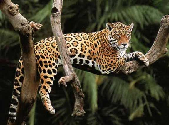 Jaguar Lounging In Tree Bigger Jpg 575 426 Jaguar Animal Rainforest Animals Jaguar Spots