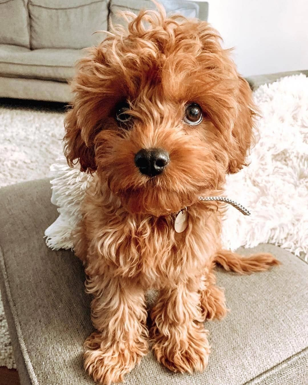 Small Dog Videos Stuff Smalldogthatdontshed Smalldogvideosbrown Smalldogforkids Learn What Food Is Good For Your Beloved Cavapoo Puppies Pretty Dogs Cavapoo