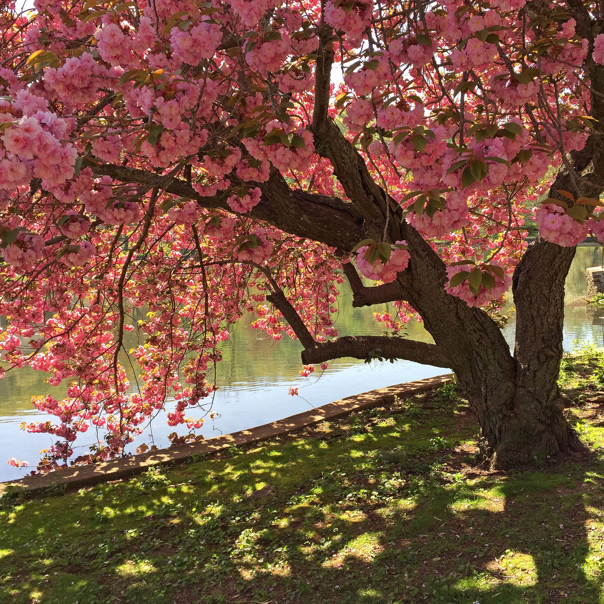 Cherry Blossom Tree In Bloom At Roslyn Duck Pond Roslyn New York Cherry Blossom Tree Tree Roslyn