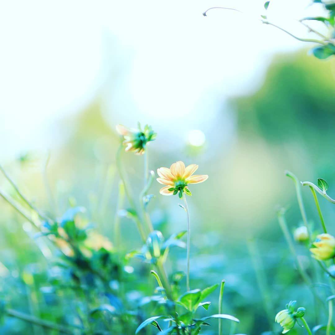 ダリアと玉ボケ おはようございます 花が好き ファインダー越しの私の世界 花のある風景 花フレンド ふんわり写真部 花撮り隊 私の花の写真 ザ 花部 ドリーミーフォト はなまっぷ 花の好きな人と繋がりたい 花倶楽部 写真撮るのが好きな人と繋がりたい エアリー