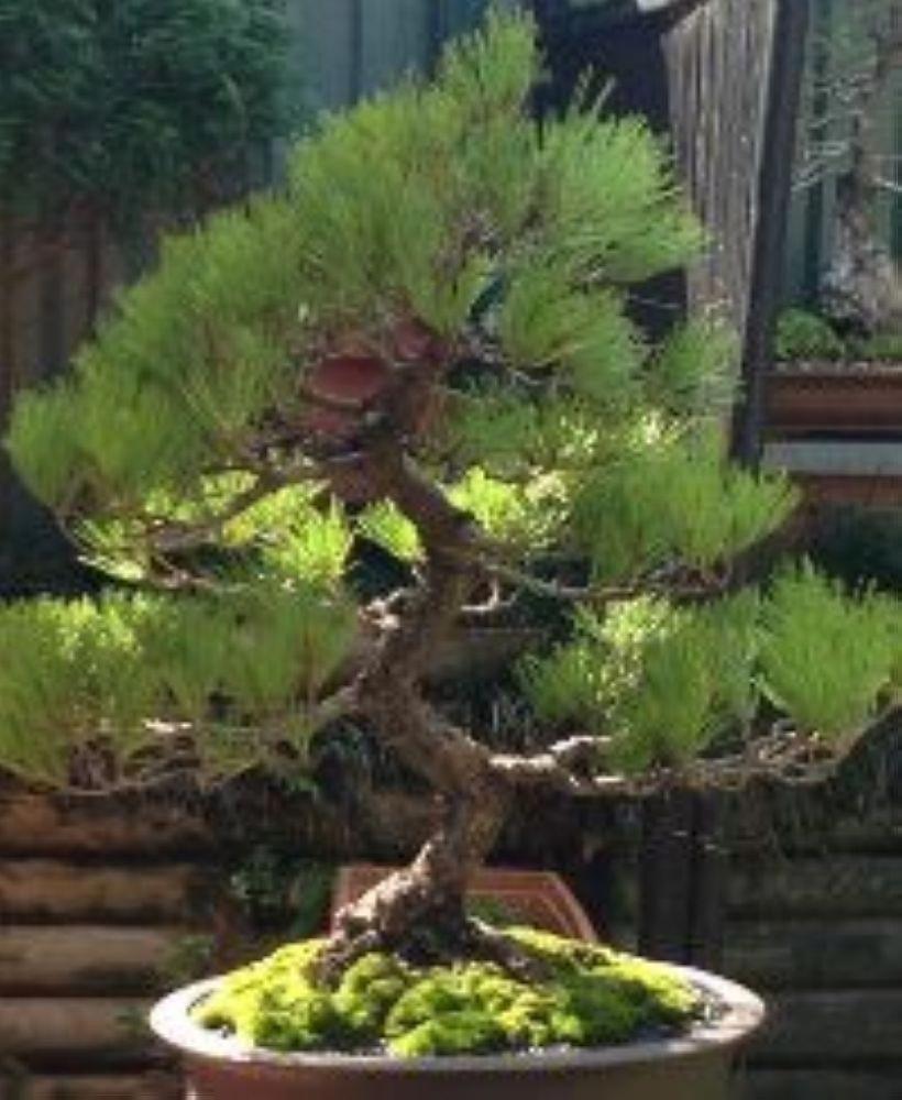 TypesofBonsaiTrees Indoor bonsai tree, Bonsai tree