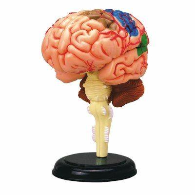 Tedco Modelo Anatomia Cerebro Humano | Anatomía | Pinterest ...