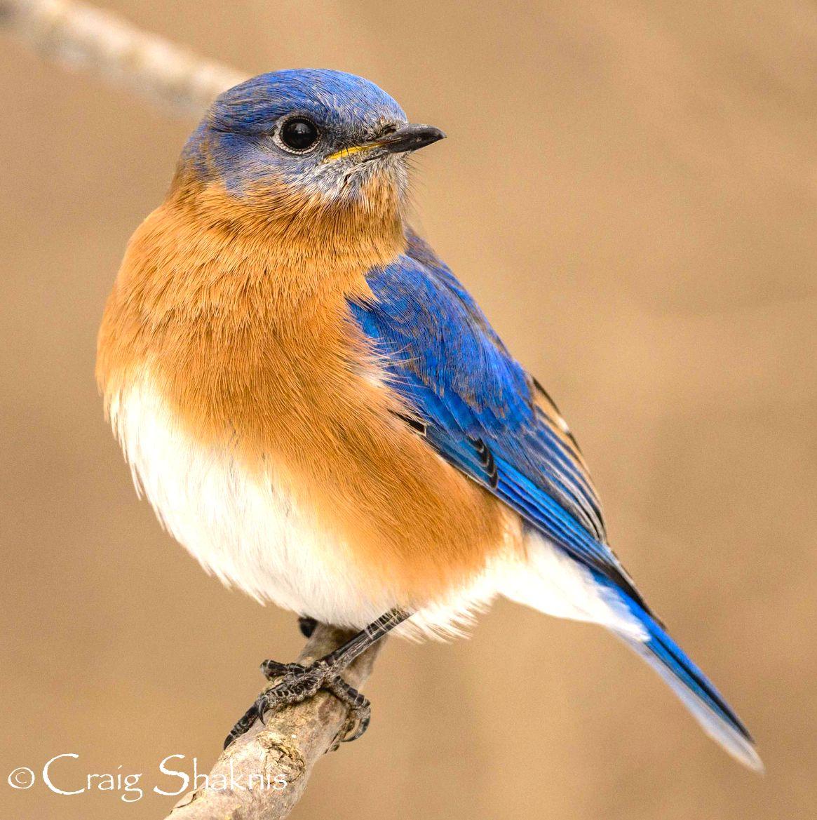 Eastern bluebird birds pretty birds blue bird