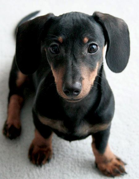 A Beautiful Black And Tan Miniature Dachshund Puppy With Images