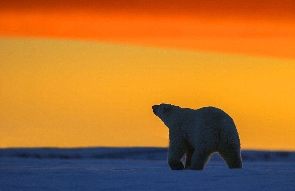 Белые медведи на фоне Арктического заката - Путешествуем вместе