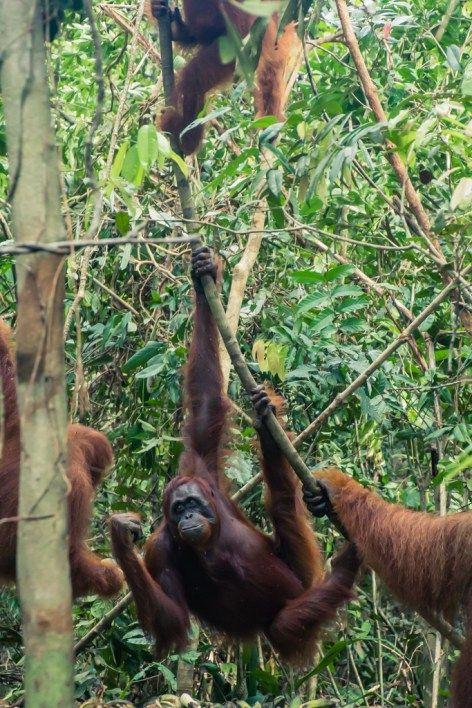 Witness orangutans in the jungles of Borneo, Indonesia on your own private boat!