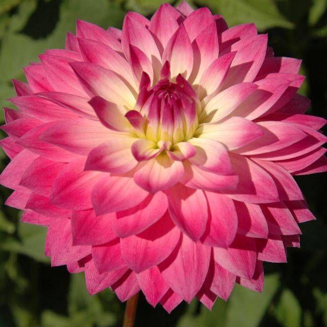 Miss Delilah Item 171 Delilah Flower Dahlia Flower Beautiful Flowers