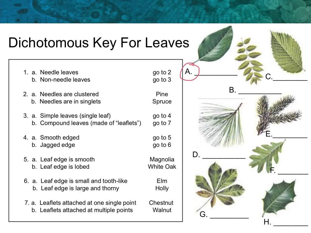 how to make a dichotomous key for leaves - Google Search ...