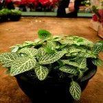 Fitônia: não se deve encharcar a planta para evitar a proliferação de fungos, porém é importante umedecer diariamente seu solo.