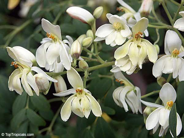 Moringa Oleifera Moringa Pterygosperma Horseradish Tree Ben Oil Tree Coatli Drumstick Tree Bridal Veil Very Inter Horseradish Tree Unusual Flowers Plants