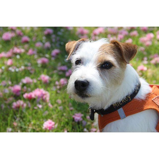 Wundervollen guten Morgen, habt einen tollen Start ins Wochenende ☀️ gooood moooorning, have a great weekend ☀️. #dogsundbuddies #Hundeblog #Oldenburg #oldenburgerhundeblog Parson Russell Terrier - Parson - Mickey - Terrier - Parson Russell - Dogblog