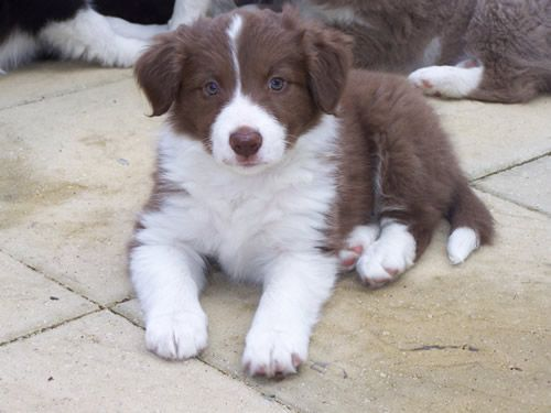 Ooo I Could Just Come Get Chu Sweet Red White Border Puppy Collie Puppies For Sale Collie Puppies Border Collie Puppies