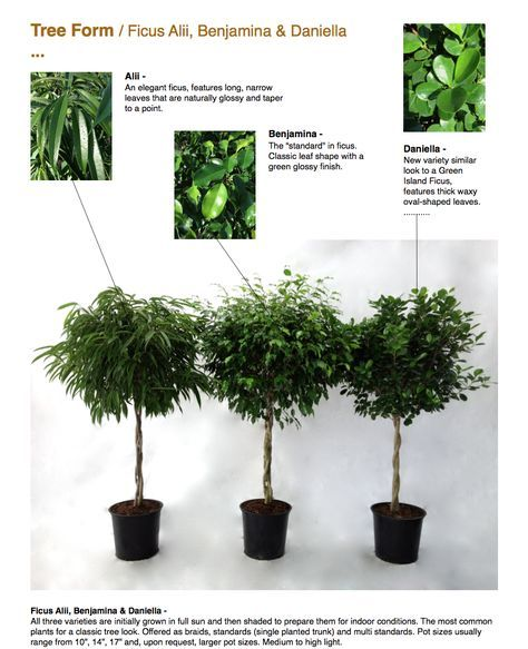 Tree Form Ficus Alii Benjamina Daniella