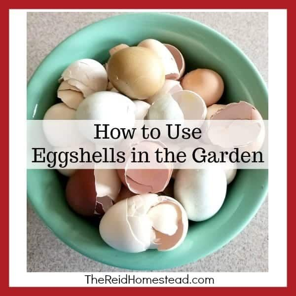 Are you a gardener who has chickens? Then don't let those eggshells go to waste! Learn how to use them in the garden to benefit your plants! #thereidhomestead #eggshells #eggshellsinthegarden #howtouseeggshells #gardeningtips #gardeninghacks
