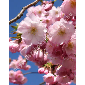 Plantfiles Pictures Flowering Cherry Okame Prunus 7 By Tristramuk Small Trees For Garden Flowering Cherry Tree Front Yard Plants