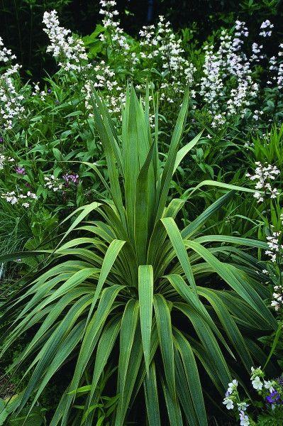 Yucca Recurvifolia Variegata Yucca Plant Rabbit Resistant