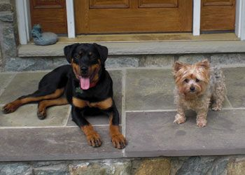 Rott And A Yorkie Rottweiler Rescue Yorkie Fur Friend